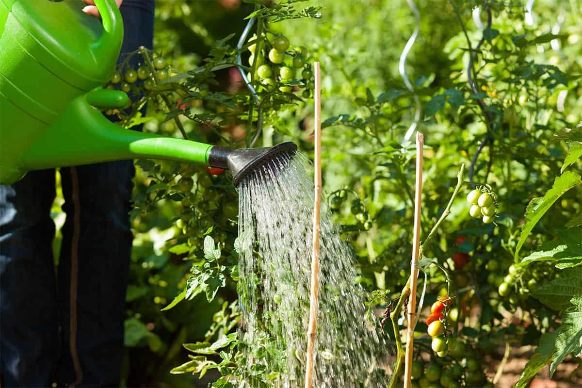Tomaten werden von einem GJL-Mitarbeiter gegossen