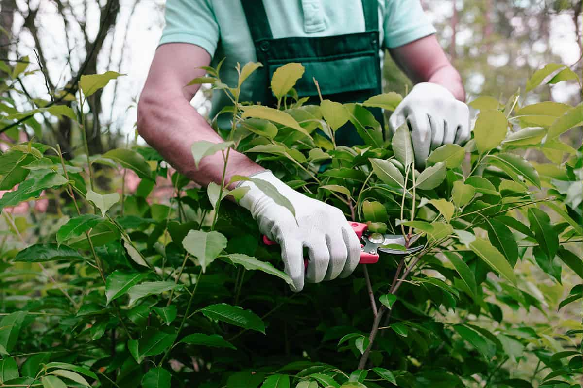 GJL-Dienstleistungs Mitarbeiter stutzt einen Busch mit der Häckenschere