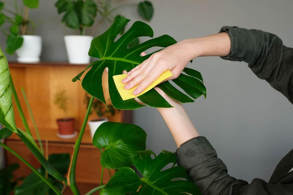 Zimmerpflanzen wir per Hand entstaubt und gepflegt